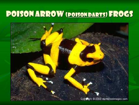Poison Arrow (Poison Darts) Frogs. Poison Arrow Frogs (also called Poison Dart Frogs) are small, brightly- colored rainforest frogs that have extremely.