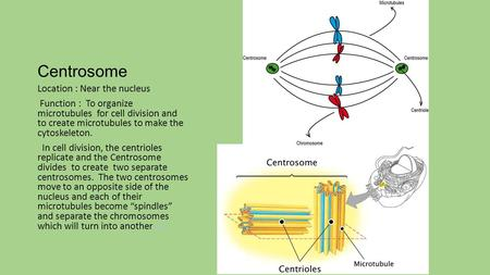 Centrosome Location : Near the nucleus Function : To organize microtubules for cell division and to create microtubules to make the cytoskeleton. In cell.