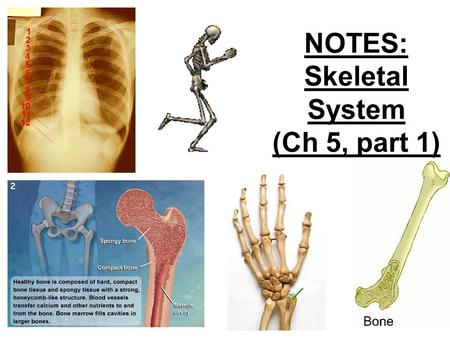 NOTES: Skeletal System (Ch 5, part 1). Individual bones are the organs of the skeletal system. A bone contains very active tissues.