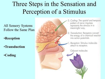 Three Steps in the Sensation and Perception of a Stimulus All Sensory Systems Follow the Same Plan Reception Transduction Coding.