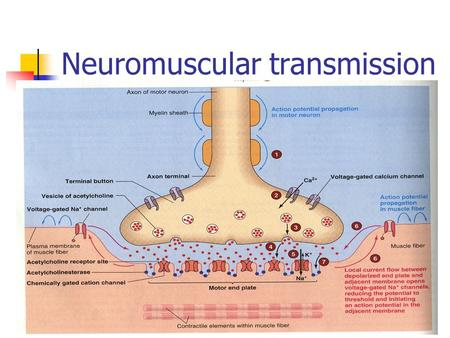 Neuromuscular transmission. Synaptic transmission *** Synapse is the junction between two neurones where electrical activity of one neurone is transmitted.