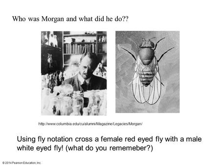 © 2014 Pearson Education, Inc. Who was Morgan and what did he do??  Using fly notation cross.