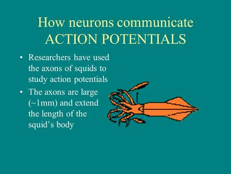 How neurons communicate ACTION POTENTIALS Researchers have used the axons of squids to study action potentials The axons are large (~1mm) and extend the.