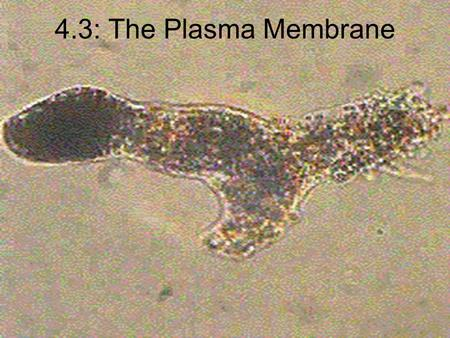 4.3: The Plasma Membrane. Functions of the Plasma Membrane Allows only certain molecules to enter or leave Separates inside from outside Allows waste.