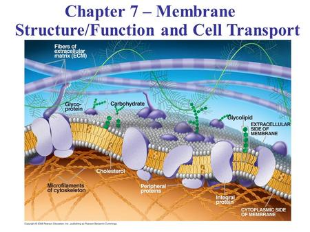 Chapter 7 – Membrane Structure/Function and Cell Transport.