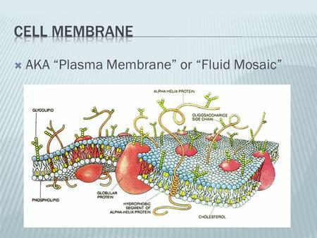 " AKA ""Plasma Membrane"" or ""Fluid Mosaic"".  Selectively permeable  Barrier  Protection."