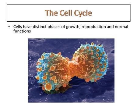 Cells have distinct phases of growth, reproduction and normal functions.