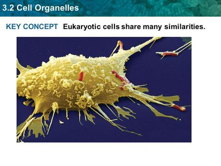 3.2 Cell Organelles KEY CONCEPT Eukaryotic cells share many similarities.