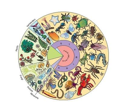 Intro to the Invertebrates What is an Animal? Basic Definitions What is an animal? –a multicellular eukaryotic heterotroph whose cells lack cell walls.