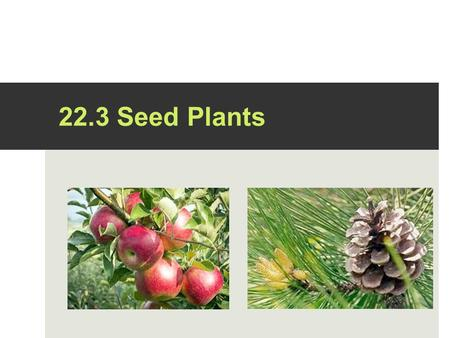 22.3 Seed Plants. What are seeds?  Every seed contains a living plant ready to sprout as soon as it encounters the proper conditions for growth.