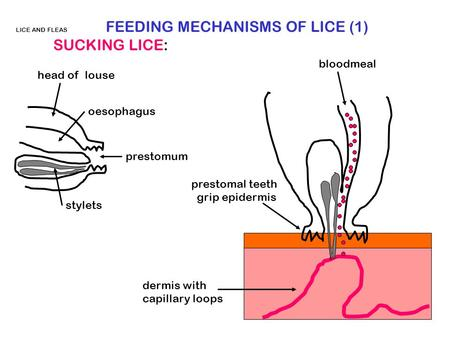 LICE AND FLEAS FEEDING MECHANISMS OF LICE (1) SUCKING LICE: prestomum oesophagus stylets head of louse dermis with capillary loops prestomal teeth grip.