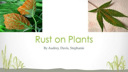 By Audrey, Davis, Stephanie Rust on Plants. Scientific name: Uredinales Rust is a fungal disease that affects trees, vegetables, grasses, and flowers.
