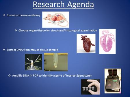 Research Agenda  Examine mouse anatomy  Choose organ/tissue for structural/histological examination  Extract DNA from mouse tissue sample  Amplify.