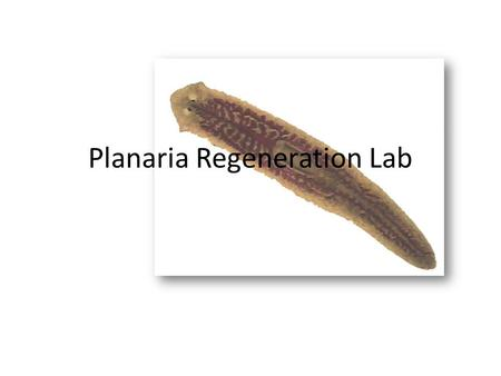 "Planaria Regeneration Lab. Main Objective You and a partner will ""adopt"" a planaria and perform a series of experiments/observations with the animal."
