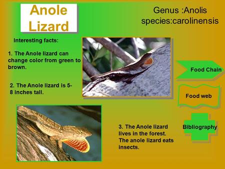 Genus :Anolis species:carolinensis Bibliography Food web Food Chain Interesting facts: 1. The Anole lizard can change color from green to brown. 2. The.