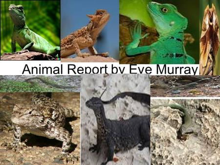 Animal Report by Eve Murray. Introduction Are you free to learn about the lizard today? I know I am, because I have info that will blow your mind. Did.