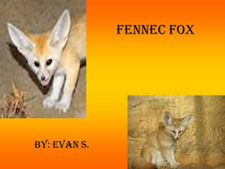 Fennec Fox By: Evan S.. Physical Characteristics The fennec fox is about 3 pounds and stands 8 inches tall. The fennec fox has large ears, large black.