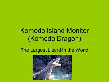 Komodo Island Monitor (Komodo Dragon) The Largest Lizard in the World.