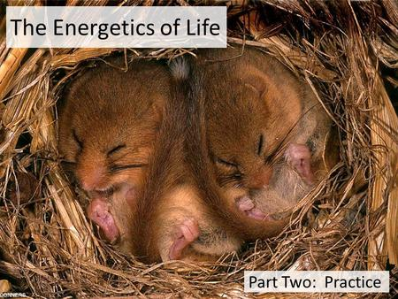 The Energetics of Life Part Two: Practice Big Questions How do the energy requirements of life affect the life strategies of organisms? How do the energy.