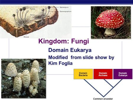 AP Biology 2007-2008 Domain Bacteria Domain Archaea Domain Eukarya Common ancestor Kingdom: Fungi Domain Eukarya Modified from slide show by Kim Foglia.