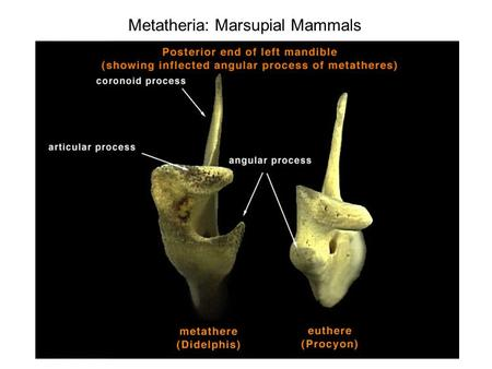 Metatheria: Marsupial Mammals First fossils are from Asia (Lauraisa) ~ 125 MYA. Complex biogeography, related to the formation and rupture of Gondwanaland.