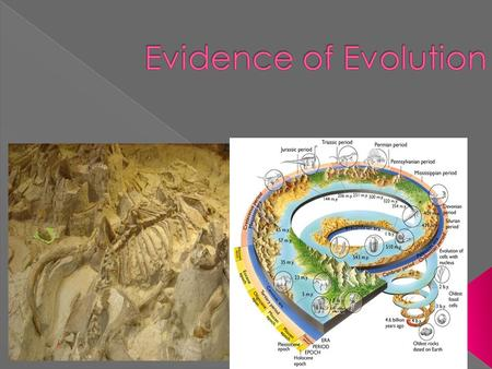  Relics or impressions of organisms from the past. › Show changes over time from simple to complex. › Many fossils don't have descendants.