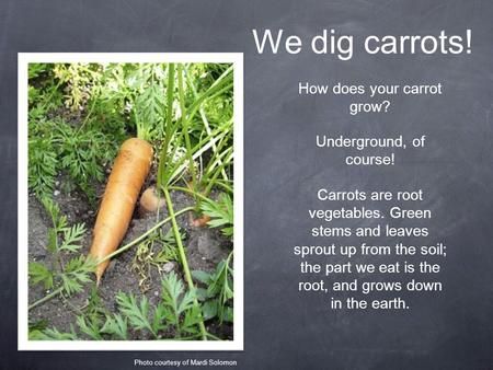 We dig carrots! How does your carrot grow? Underground, of course! Carrots are root vegetables. Green stems and leaves sprout up from the soil; the part.