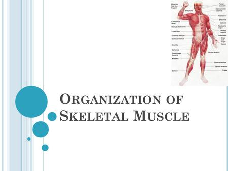 O RGANIZATION OF S KELETAL M USCLE. S KELETAL M USCLE O RGANIZATION Connective Tissue Coverings Skeletal muscles are attached to tendons which attach.