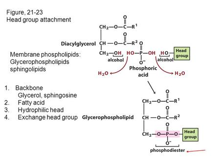 Figure, 21-23 Head group attachment 1.Backbone Glycerol, sphingosine 2. Fatty acid 3. Hydrophilic head 4. Exchange head group Membrane phospholipids: Glycerophospholipids.
