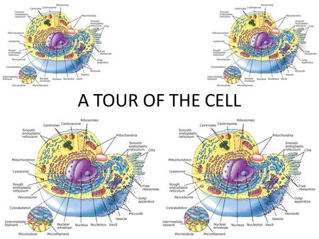 tour of the cell I love your cell powerpoints, is it possible for you to enable to link for me to download them you did such a good job i will give you credit for the slides i would.