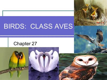 BIRDS: CLASS AVES Chapter 27. Class Aves – Birds Birds (class Aves) are Archosaurs but almost every feature of their reptilian anatomy has undergone modification.