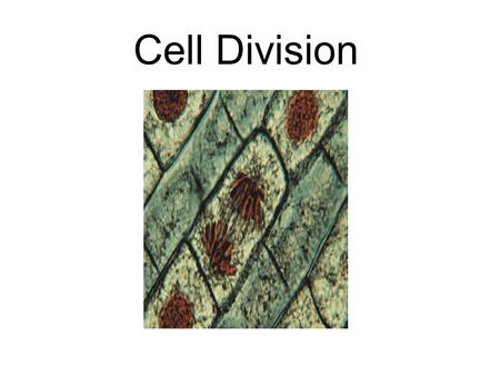 Cell Division. The replication of autosomal cells. One cell splits in two creating two identical cells. The cell becomes diploid before splitting into.