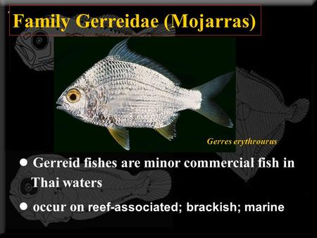 Family Gerreidae (Mojarras) ● Gerreid fishes are minor commercial fish in Thai waters ● occur on reef-associated; brackish; marine Gerres erythrourus.