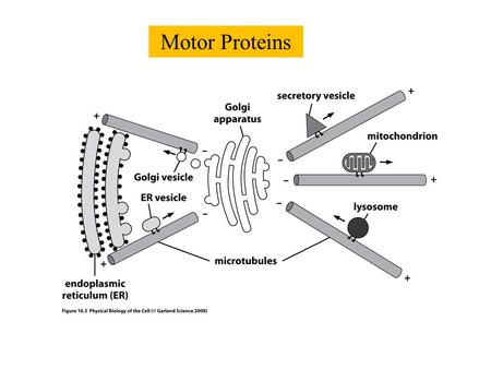 Motor Proteins. One-state model with unequal forward and backward rates.