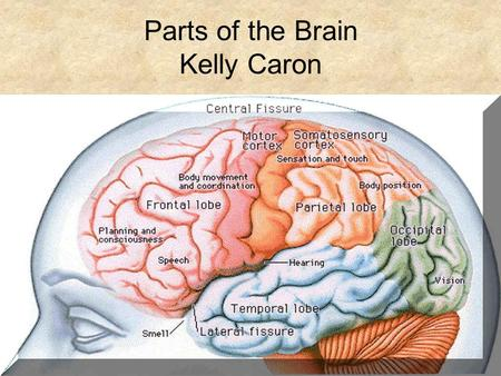 Parts of the Brain Kelly Caron. Breaking the Brain Apart The right side of the cerebrum controls things such as imagination and 3-D forms. The left side,