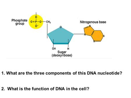 1.What are the three components of this DNA nucleotide? 2. What is the function of DNA in the cell?