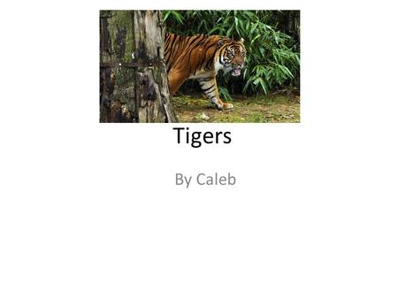 Tigers By Caleb. Tigers Main Weapon A tiger's main weapon is their claws that they depend on. It is what they use to fight their prey with. Tigers also.