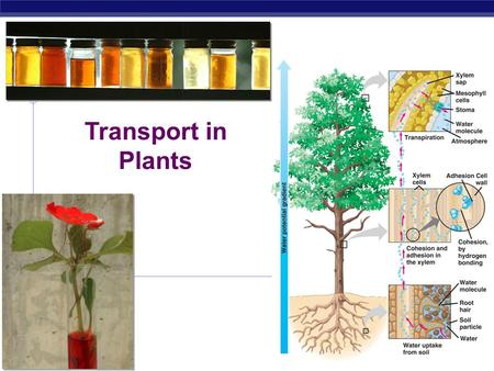AP Biology 2006-2007 Transport in Plants AP Biology Transport in plants  H 2 O & minerals  transport in xylem  transpiration  evaporation, adhesion.