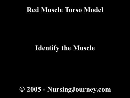  2005 - NursingJourney.com Red Muscle Torso Model Identify the Muscle.