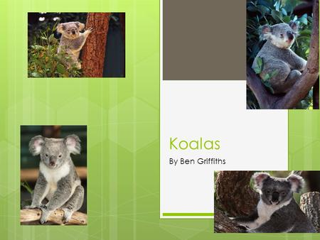 Koalas By Ben Griffiths.