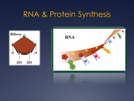 RNA & Protein Synthesis Ribose RNA. DNARNA StructureDouble Stranded Single Stranded Bases- PurinesAdenine (A) Guanine (G) Bases - Pyrimidines Cytosine.