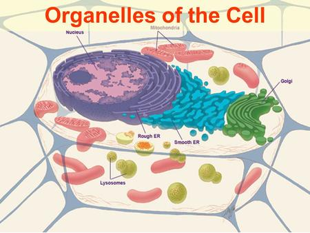 Organelles of the Cell Three Sections of the Cell All cells take in food, rid waste, reproduce 3 main sections 1) Plasma membrane 2) Nucleus 3) Cytoplasm.