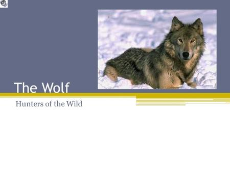 The Wolf Hunters of the Wild History The Wolf, Grey Wolf or Timber Wolf is the largest canine carnivore. The dog family is thought to have evolved from.