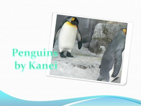 How penguins move The king penguins. Little blue penguins.