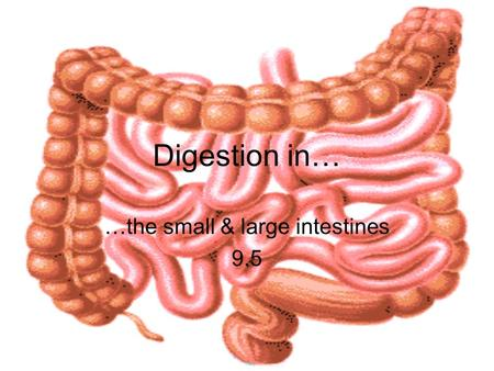 Digestion in… …the small & large intestines 9.5. Small Intestine about 2.5 cm in diameter up to 7 m in length duodenum: first 25- 30 cm: digestion jejenum: