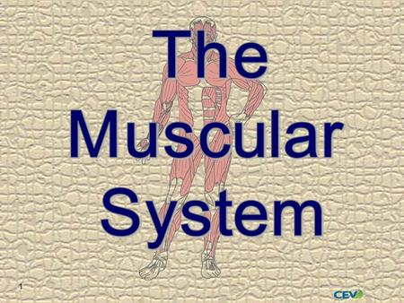 1. 2  Over 600 muscles  45% of adult body weight  Bundles of muscle fibers held together by connective tissue  Nerve stimulation allows contraction.