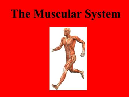 The Muscular System. Approximately 40% of your body weight Approximately 650 muscles Muscles only pull (they can't push) You have over 30 facial muscles.