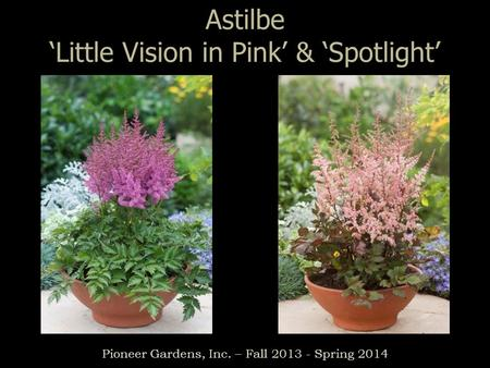 Astilbe 'Little Vision in Pink' & 'Spotlight' Pioneer <strong>Gardens</strong>, Inc. – Fall 2013 - Spring 2014.