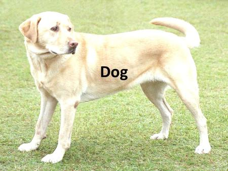Dog. The domestic dog (Canis lupus familiaris and Canis lupus dingo) is a domesticated form of the grey wold, a member of the Canidae family of the order.