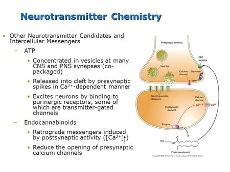 Neurotransmitter Chemistry Other Neurotransmitter Candidates and Intercellular Messengers –ATP Concentrated in vesicles at many CNS and PNS synapses (co-
